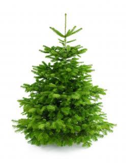 Weihnachtsbaum Nordmanntanne XL 175-200cm